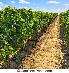 Vineyards of Bordeaux, France