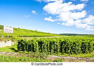 vineyards of Cote de Beaune near Volnay, Burgundy, France