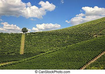 Vineyards of Piedmont. Northern Italy.