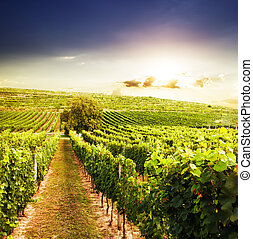 Vineyards on the sunset