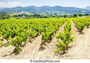 vineyards, Provence, France