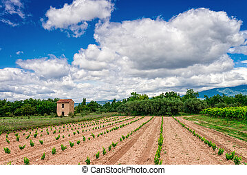 vineyards Provence