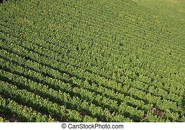 Vineyards - Rows of vineyards.