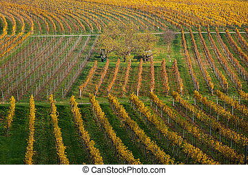 Vineyards with colored leaves on a cloudy day in autumn