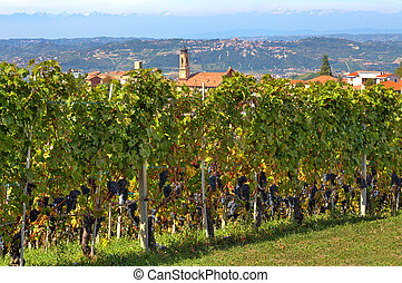 Vineyards with ripe grapes in Italy.