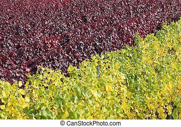 Vineyards with vines for red and white wine - Colorful...