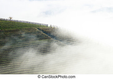 Vineyards wrapped in fog