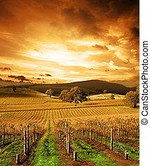 vingård, bedöva, solnedgång