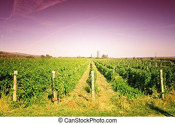 vingård, färgrik, landskap