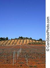vingård, grapevines, rækker