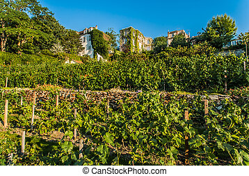 vingård, i, montmartre, paris, byen, frankrig