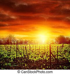 vingård, ind, solnedgang