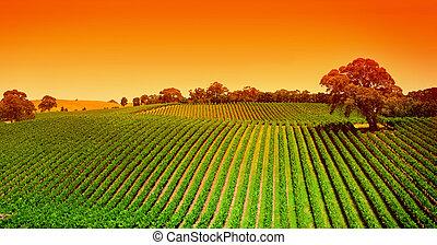 vingård, kullar, soluppgång