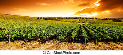 vingård, panorama, solnedgång