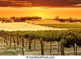vingård, solnedgang