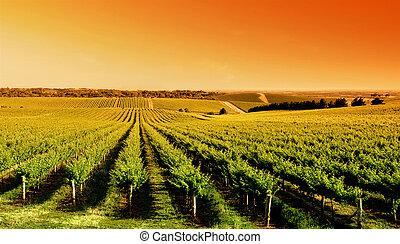 vingård, solopgang