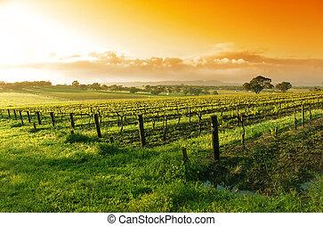 vingård, soluppgång
