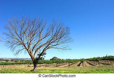 vingård, sommar