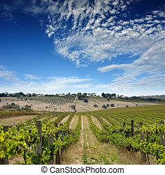 vingård, sommer, landskab
