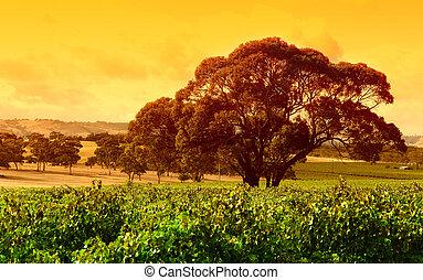 vingård, stort träd