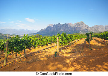 vinhedo, áfrica, stellenbosch, sul
