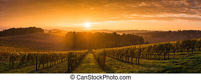 vinhedo, amanhecer, -, bordeaux, vinhedo
