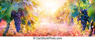 vinhedo, colheita, uva, outono