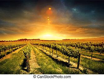 vinhedo, impressionante, pôr do sol
