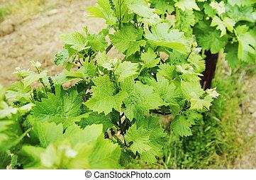 vinhedo, luxuriante, uva, campo