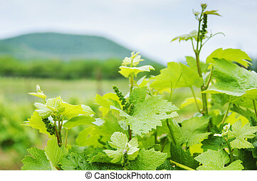 vinhedo, luxuriante, uva, russia., field.