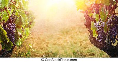 vinhedo, outono, colheita