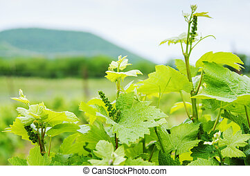 vinhedo, paisagem., luxuriante, uva, field.
