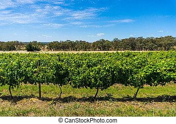 vinhedo, rural, australiano, fundo, natureza