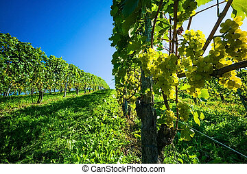 vinhedo, uvas