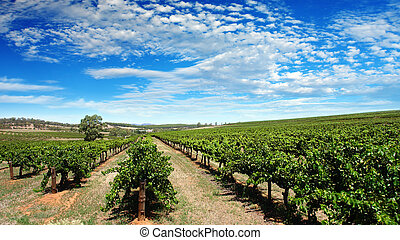 vinice, jasná obloha