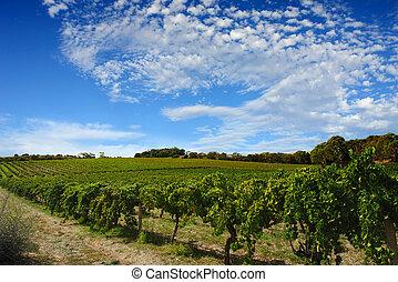 vinice, léto, bujný