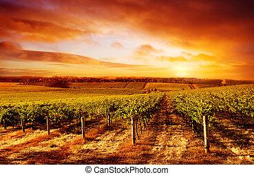 vinice, ohromení, západ slunce
