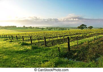 vinice, východ slunce