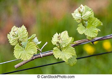 vino de uva, brotes