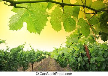 vinranka, planterar