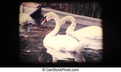 Vintage 8mm. Swans in a pond