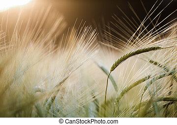 Barley field in glow of evening sun