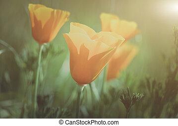 Vintage California Orange Poppy