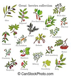 Vintage collection of hand drawn berries plants. Vector...