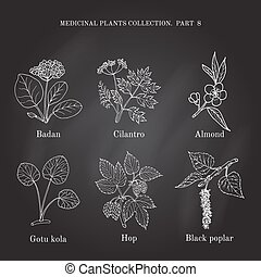 Vintage collection of hand drawn medical herbs and plants badan, cilantro, almond, gotu cola, hop, black poplar