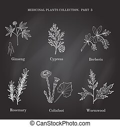 Vintage collection of hand drawn medical herbs and plants cypress, berberis, ginseng, rosemary, wormwood, coltsfoot. Botanical vector illustration.