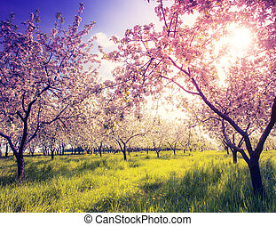vintage color effect - Blossoming apple orchard in spring ...