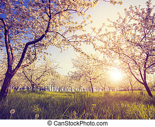 vintage color effect - Blossoming apple orchard in spring. ...