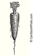 Vintage engraving of carrot