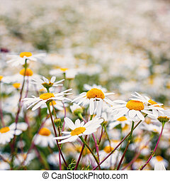 Vintage field of white camomiles
